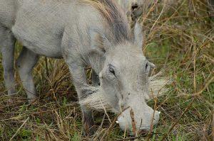 Fotolia_107989834_S-Albino-Warthog---Ngorongoro-Crater---Tanzania