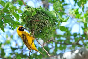 Southern masked weaver building its nest