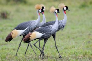 Four Grey Crowned-Cranes in courtship dancing.