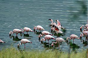 פלמינגו באגם בארושה