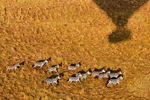 מבט-מכדור-פורח-על-עדר-זברות-בשמורת-הסרנגטי-בטנזניה