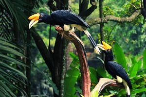 שתי-ציפורי-הורנביל-ביער-בארושה