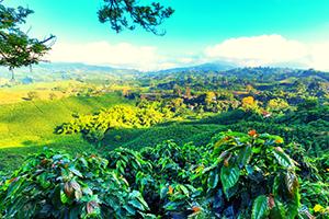 מטעי קפה בארושה טנזניה